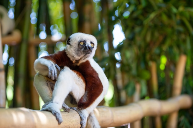 Coquerel sifaka in zijn natuurlijke omgeving in een nationaal park op het eiland madagaskar.