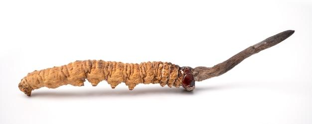 Cordycepe sinensis of paddenstoel cordycep dit is een kruiden