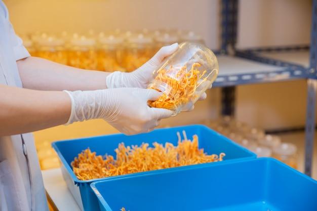 Cordyceps-landbouwbedrijf in het schone concept van de gezondheidsideeën van het laboratorium chinese kruid op hand van landbouwer in landbouwbedrijf.