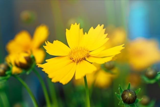 Coreopsis bloeit in een tuin op een zonnige dag