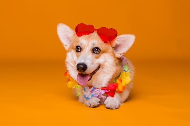 Corgi hond in zonnebril en hawaiiaanse kralen op geel