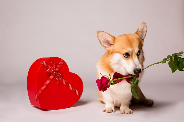 Corgi hond met een rode hartvormige geschenkdoos en een rode roos op een witte muur