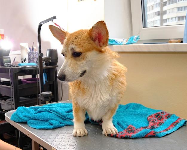 Corgi op de trimtafel close-up naast een natte handdoek.