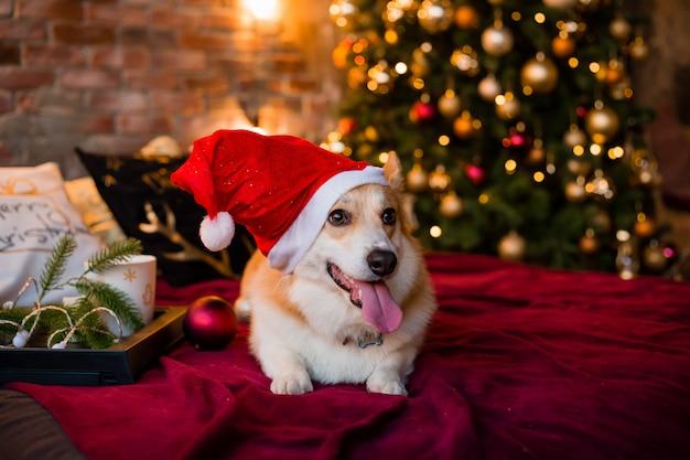 Corgihond in kerstmanhoed die op bed thuis liggen
