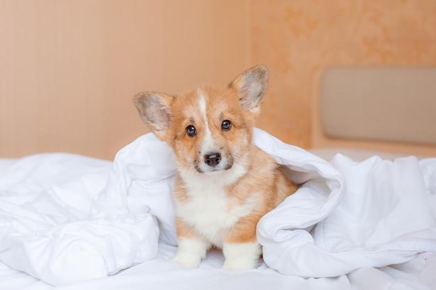 Corgipuppy op het bed onder de deken
