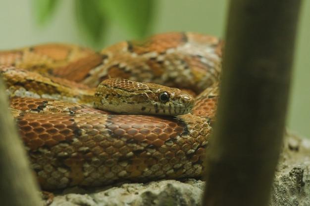 Corn snake on the rock is een slang die populair is vanwege het kleuren van prachtige kleuren