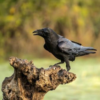 Corvus corax, raaf