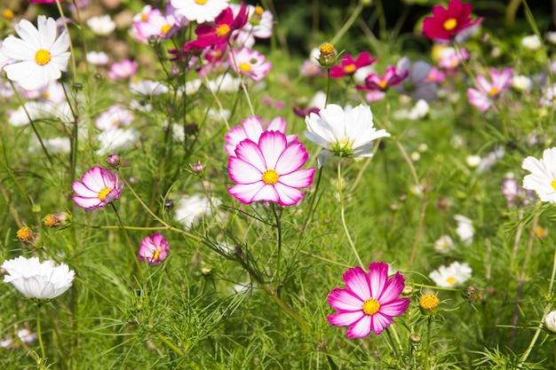 Cosmea. zomer bloemen. kleurrijke bloemen zoals madeliefjes. bloemen op groene achtergrond. zomer natuur.