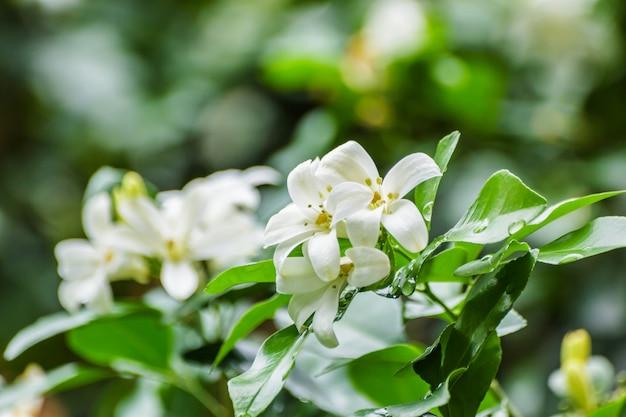 Cosmetische schorsboom, satijnhout,