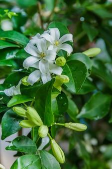 Cosmetische schorsboom, satijnhout