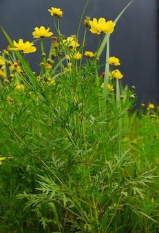 Cosmos sulphureus bloem in een prachtige tuin