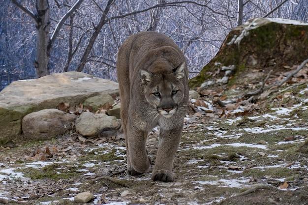 Cougar wandelen terwijl ze naar de camera kijken