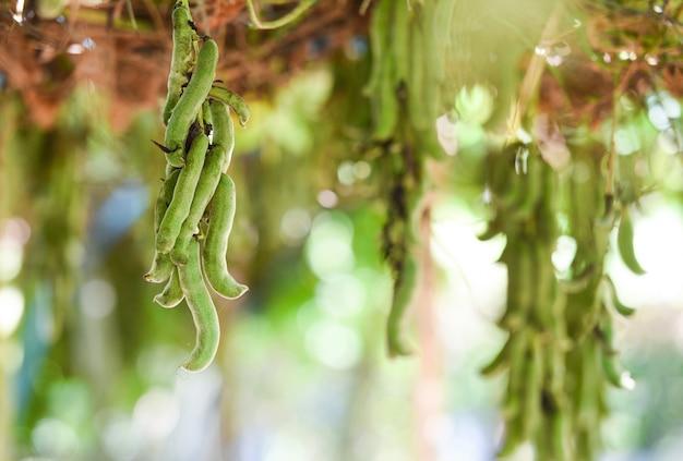 Cowhamsfruit of capitatus van mucuna pruriens het hangen op boom. legminosae papilionoideae