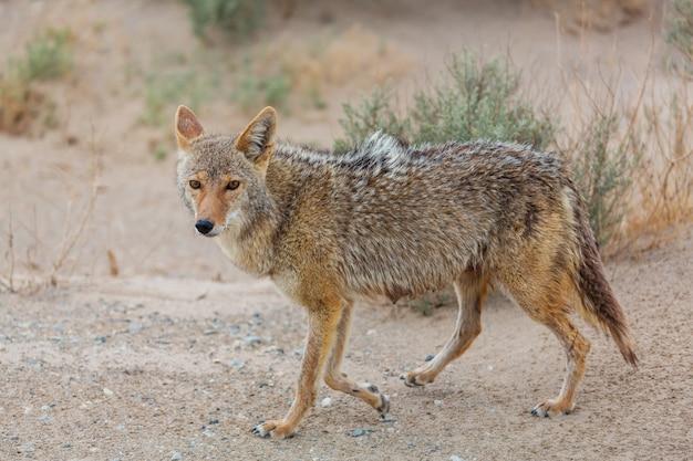 Coyote close-up in de woestijn
