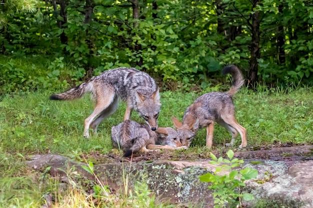 Coyote waakt over baby's