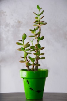 Crassula ovata, algemeen bekend als jadeplant in een pot.