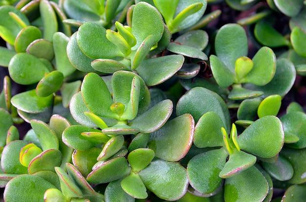 Crassula ovata (jade plant, money plant) succulente plant close-up.