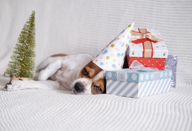 Crazy chihuahua hond in feestmuts slaap met kerstcadeaus en kerstboom liggen op coach. slaap. vrolijk kerstfeest. gelukkig nieuwjaar. kerstman hond.