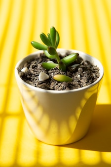 Creatieve gele achtergrond met kleine baby succulente installatie in pot. zomer abstracte sjabloon