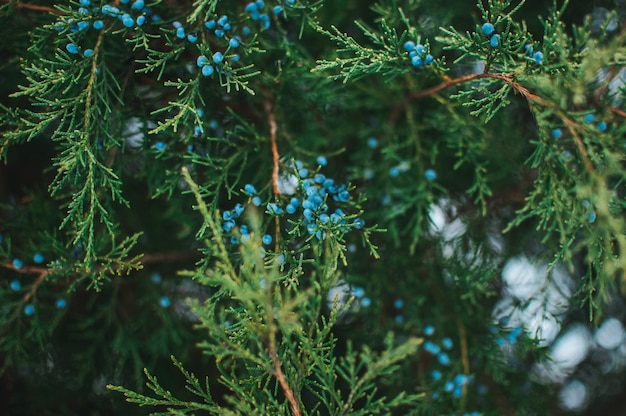Creatieve lay-out van takken van blauwe jeneverbes met bessen. wintergroene naaldplant voor de tuin. ontwerpsjabloon voor kerstvakantie.