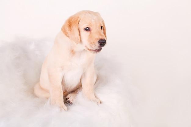 Crème labrador puppy, 14 weken oud, zit op witte muur