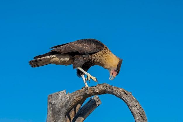 Crested caracara loopt langs een dode boomtak