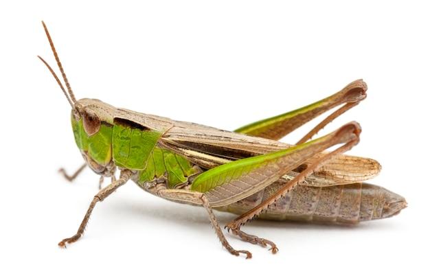 Cricket geïsoleerd