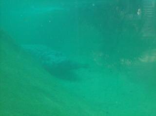 Croc onderwater
