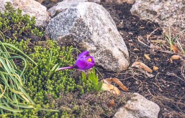 Crocus bloem in het voorjaar