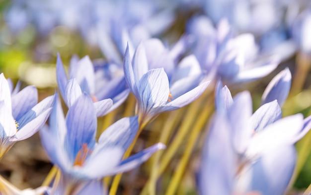 Crocus - lente blauw paarse bloem op het veld