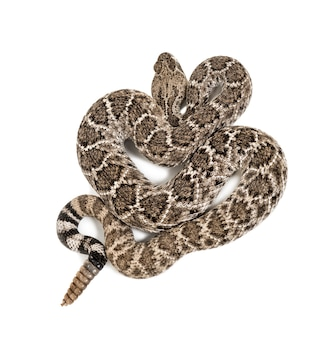 Crotalus atrox, western diamondback ratelslang of texas diamond-back, giftige slang tegen wit