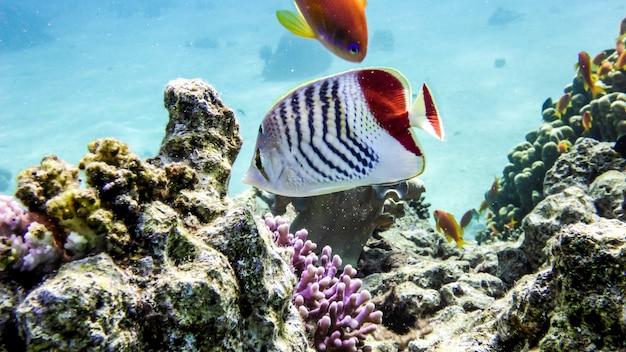 Crown butterflyfish en koraal in de rode zee, eialt, israël