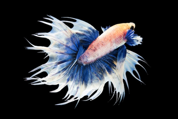 Crowntial betta