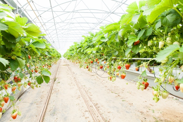 Cultuur in een broeikasaardbei en aardbeien