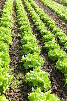 Cultuur van biologische salade in kassen