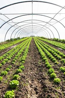Cultuur van organische salade in serres