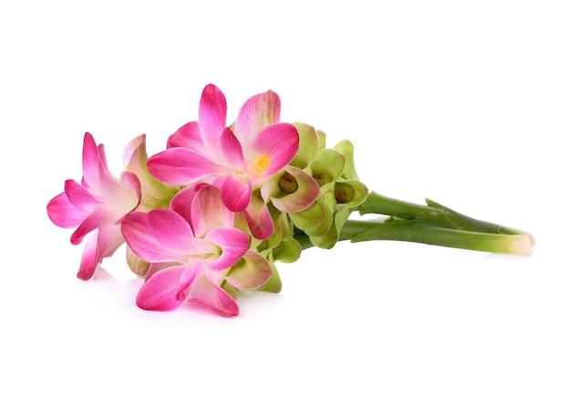 Curcuma sessilis bloem isoleren op witte achtergrond.