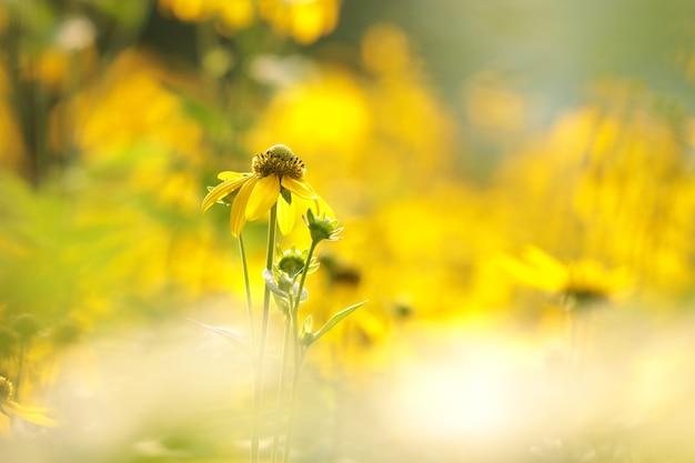 Cutleaf coneflower rudbeckia laciniata in de zon