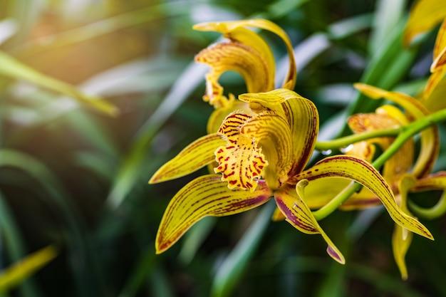 Cymbidium tracyanum, prachtige wilde orchidee in tropisch bos.