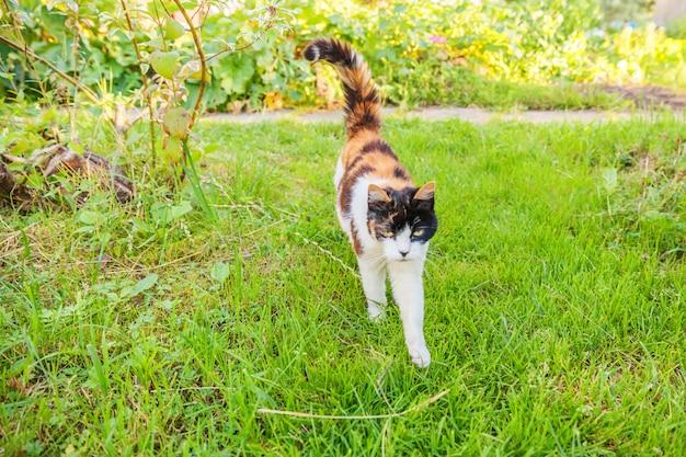 Cyperse kat lopen op groen gras