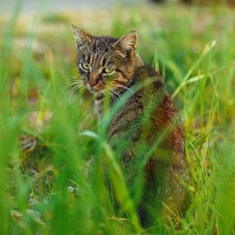 Cyperse kat zit in het gras