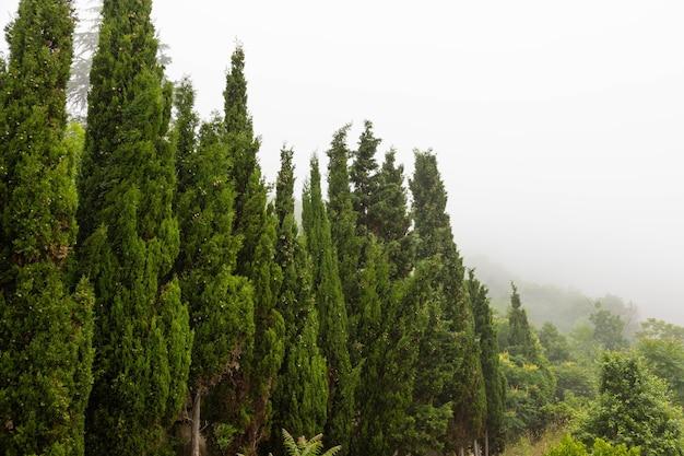 Cypress tijdens de ochtendmist. idyptisch landschap.