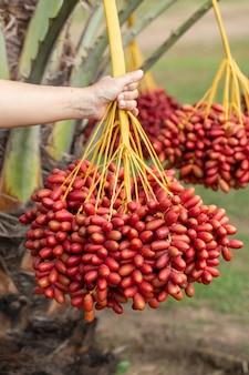 Dadelpalmenvruchten op een dadelpalmenboom. geteeld in het noorden van thailand