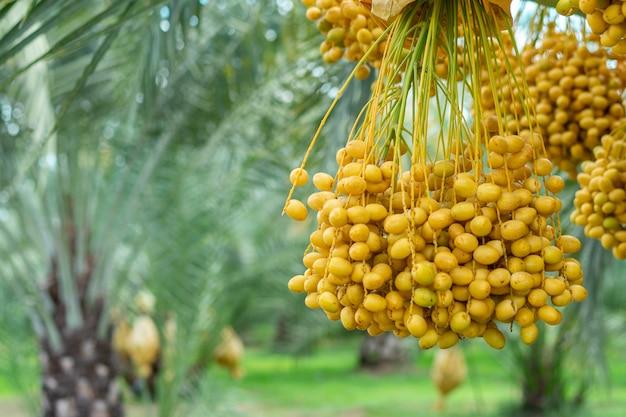 Dadelpalmfruit in de bomen