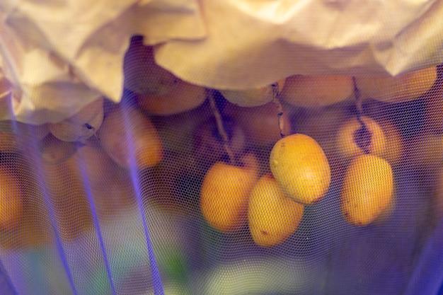 Dadelpalmsoort barhee die een zoete smaak van vers fruit heeft. insectenbescherming met paarse netten.