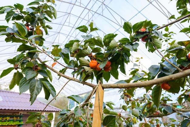 Dadelpruimen op persimmonboom zijn biologisch fruit bij de plantage met koud weer op de heuvels