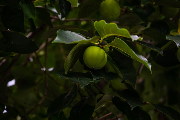 Dadelpruimfruit op boom