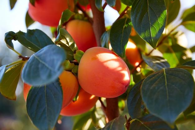 Dadelpruimvruchten in de landbouw van het bomengebied