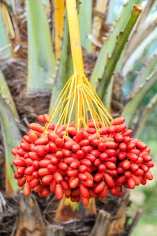 Dadels palmtakken met rijpe dadels