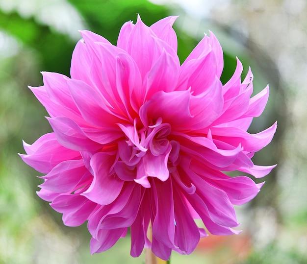 Dahlia roze bloem een natuur achtergrond wazig